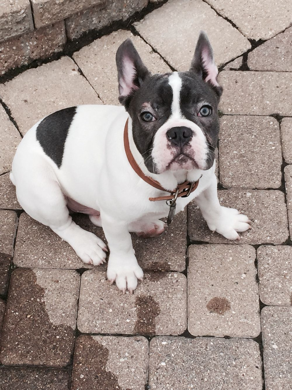 Jake 6 mo blue pied French bulldog French bulldog, Blue