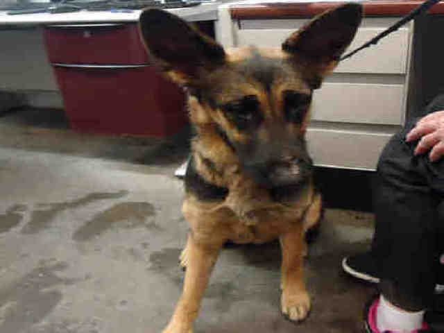 German Shepherd Dog Dog For Adoption In Fairfield Ca Adn 724162