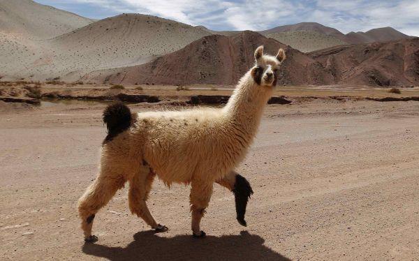 La Llama Nuevo Guardian De Los Rebanos De Ovejas En Las Montanas De Suiza Animal Tracks Animals Llama