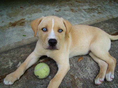 Labrador Retriever Siberian Husky Mix Dog Crossbreeds Labrador Retriever Labrador