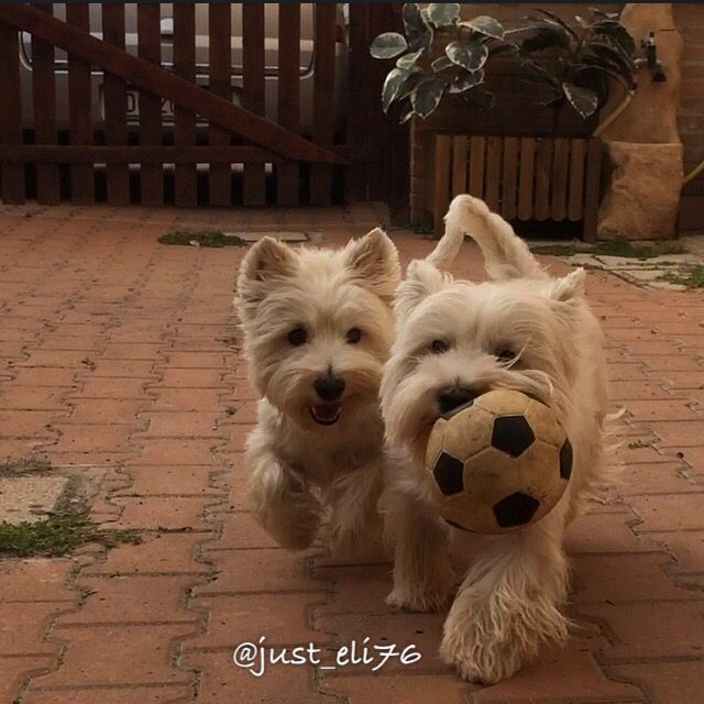 Take Me Westie Puppies Cute Dogs West Highland Terrier