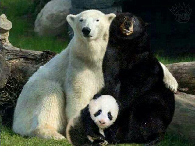 Polar Bear, Black bear and panda cub..
