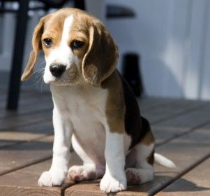 Andy Who Played Daisy In John Wick Cute Beagles Puppy Sitting