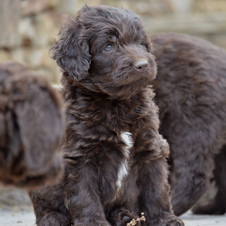 Pin by Dora K. Torres on labradoodle Puppies