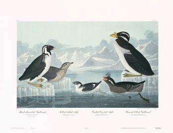 How about a Nobbed-Billed Auk? Shop a Vintage Bird Illustration, by James Audubon. Lithograph Art Prints make better walls.