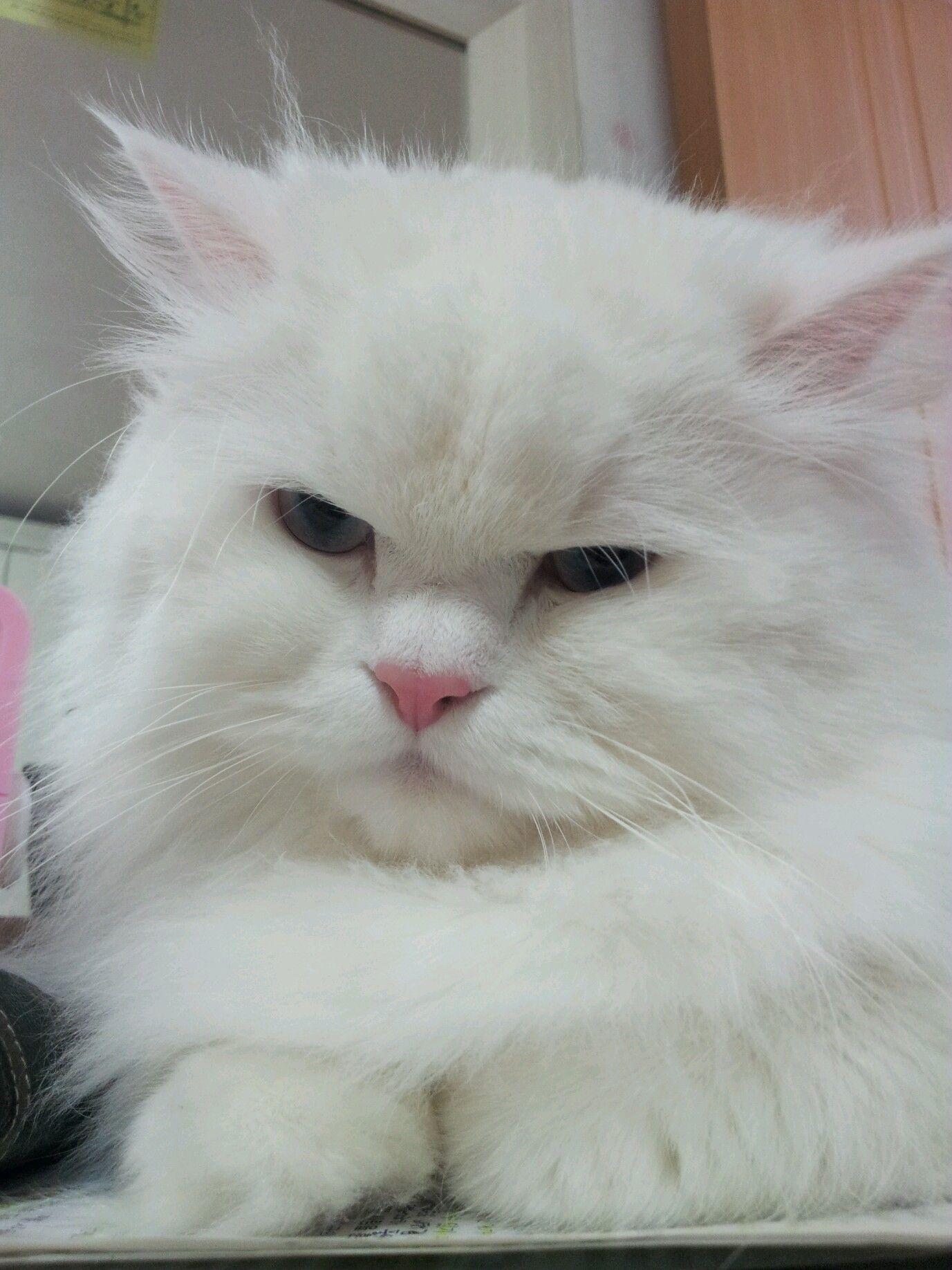 my persian cat. cat name is 'YAONG'. it's korean name
