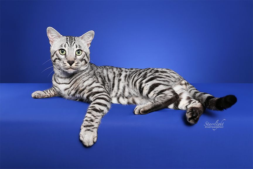 Capstone Bengals Breeds And Shows Quality Bengal Cat And Kittens Silver Bengals For Sale Located In Nc But Bengal Cat Silver Bengal Cat Bengal Cat For Sale