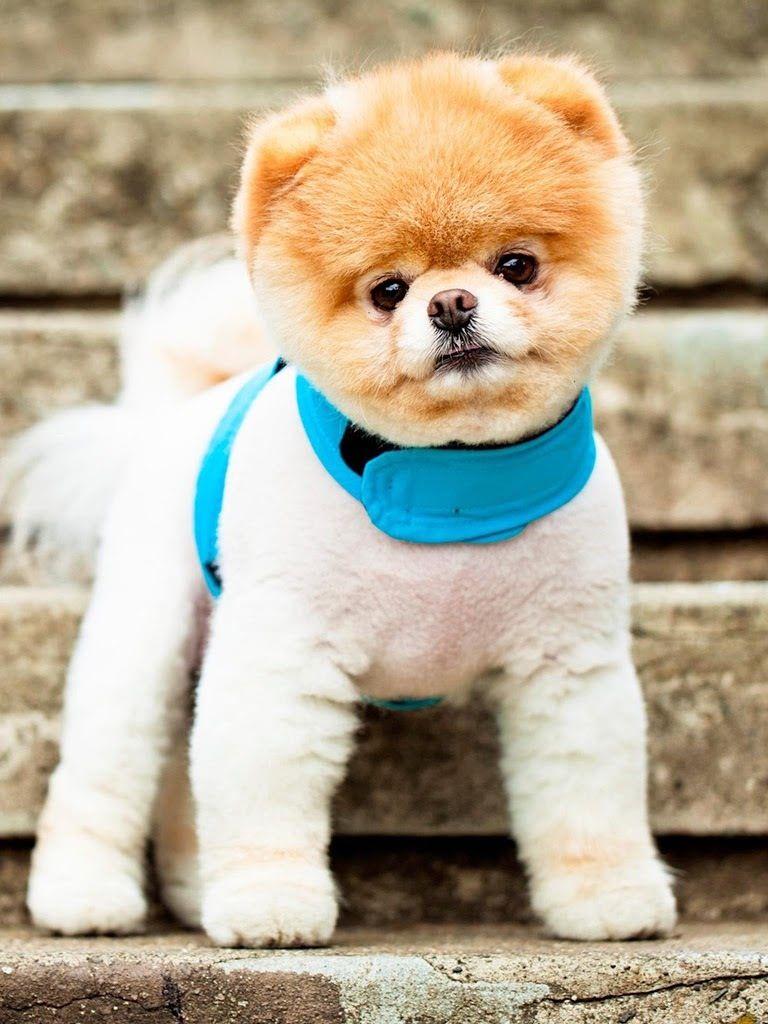 Pin de Sabina LOERA en Animals Boo el perro más lindo