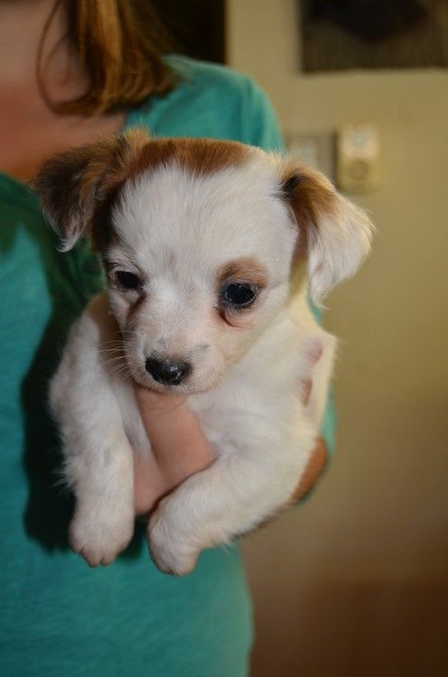 Chihuahua X Miniature Fox Terrier Puppies For Sale In Mount