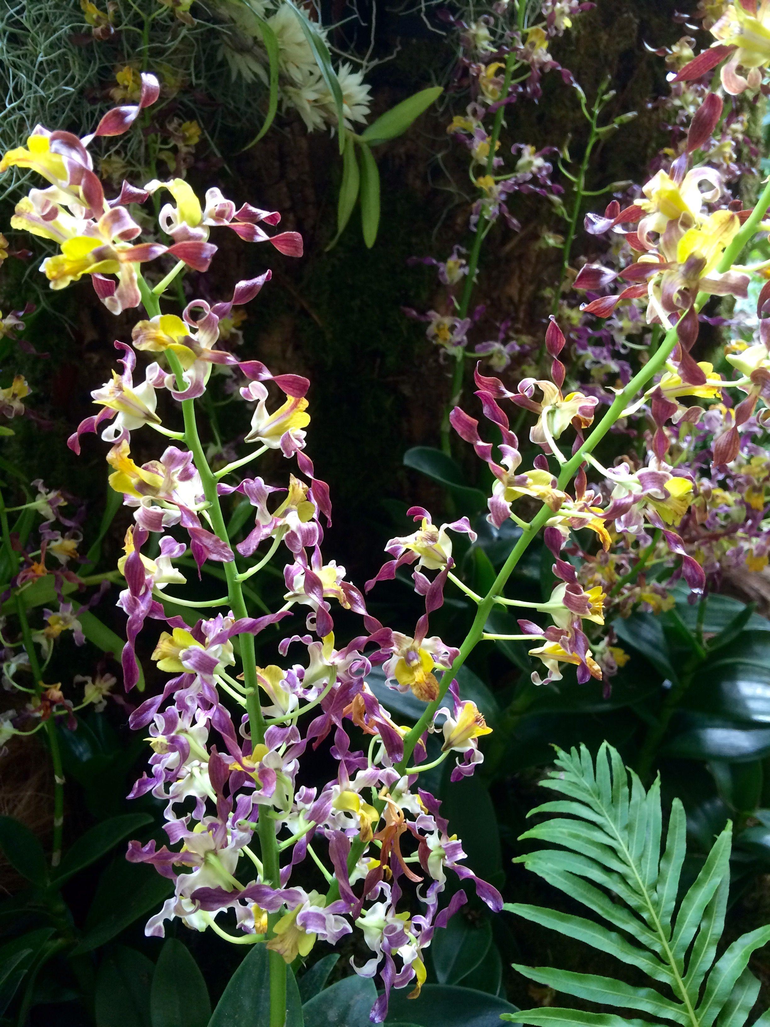 Dendrobium Rambo Singapore Botanic Gardens Orchids Botanical Gardens