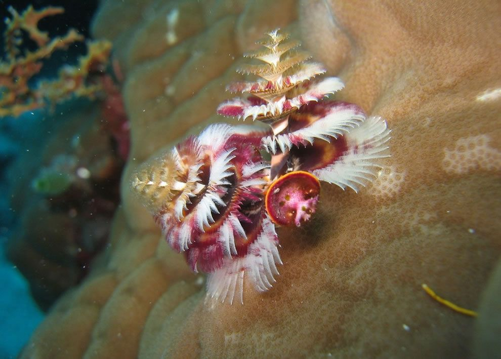 Christmas Tree Worm - Great Barrier Reef Ocean Life Pinterest