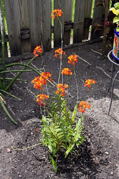 Full Garden In Backyard: Orange Flowering Ground Orchid