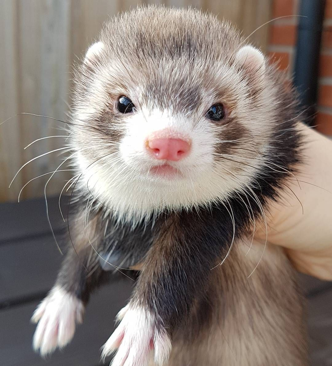 Pin On Ferrets Are Not Rodents