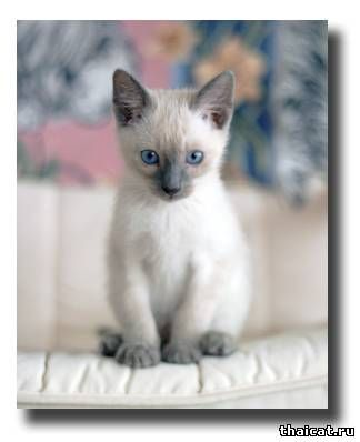 котенок тайской породы фото