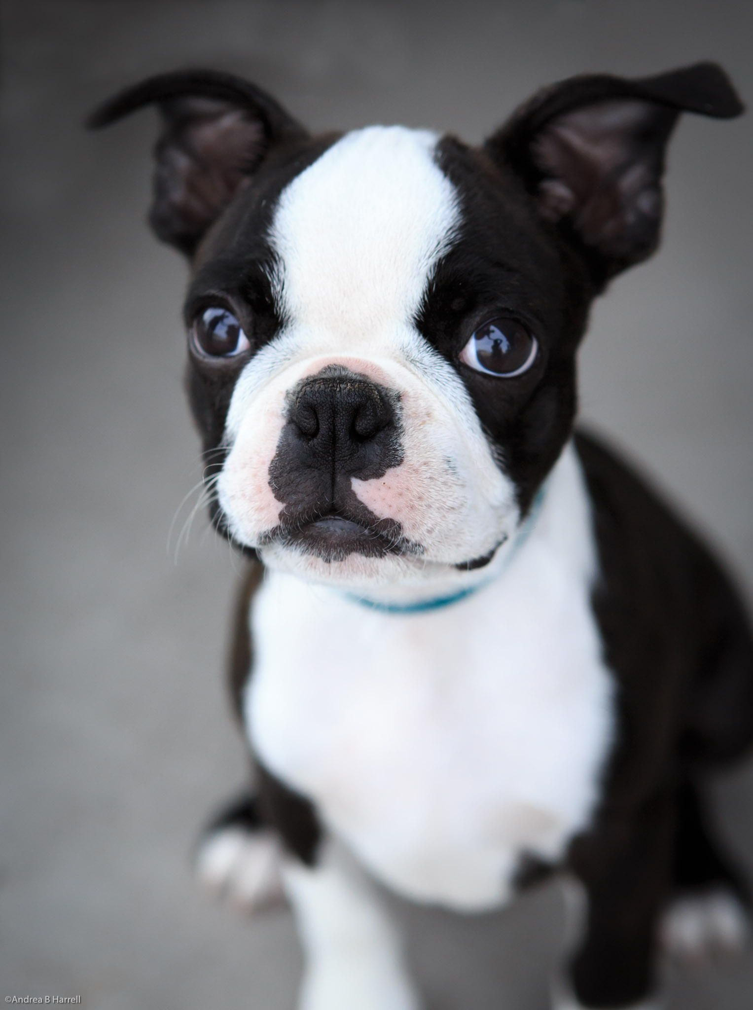 ::: What an adorable face on this sweet Boston Terrier puppy. I love Bostons for their  intelligence and loving hearts. Lorr