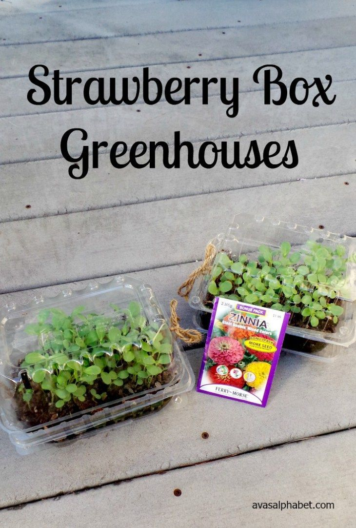 Strawberry Box Greenhouses - Strawberry box, Diy garden projects, Simple greenhouse, Types of christmas trees, Garden projects, Gardening for kids - C is for Crafts Strawberry Box Greenhouses  Recycle plastic strawberry containers to make a simple greenhouse for sprouting seeds  Great project for kids!