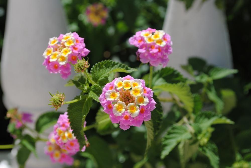 Lantana Mozelle Flower Pots Bloom Perennials