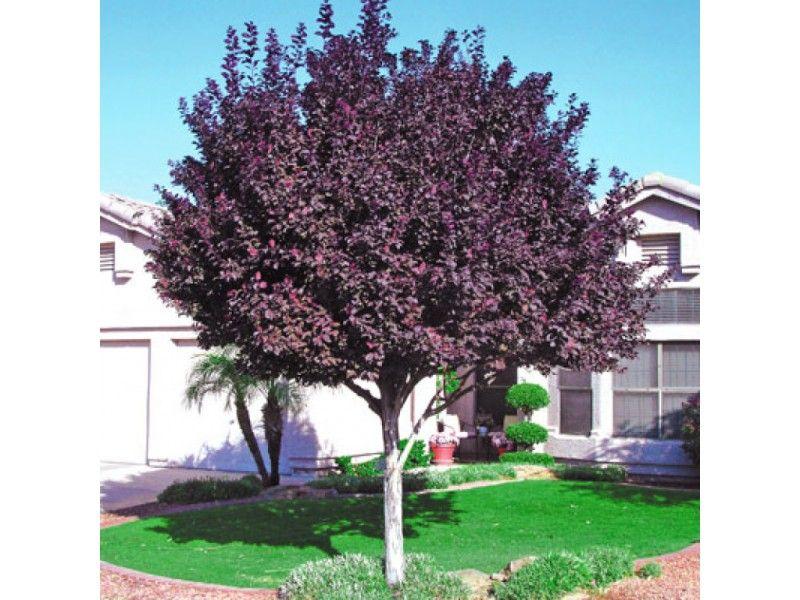 Purple Leaf Flowering Plums Purple Leaf Plum Tree Trees For Front Yard Landscaping Trees