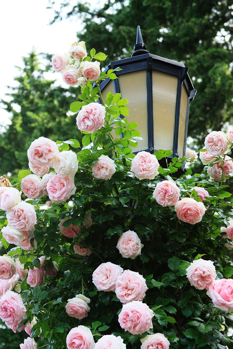 International Rose Test Garden   Portland, Oregon