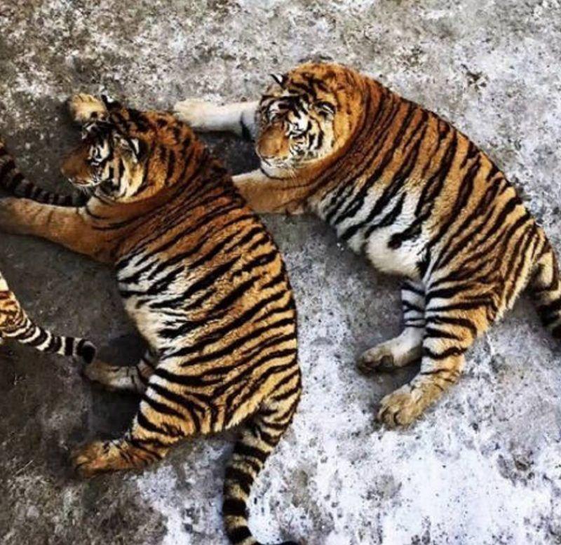 Fat Cat Special Fat Tigers Cats