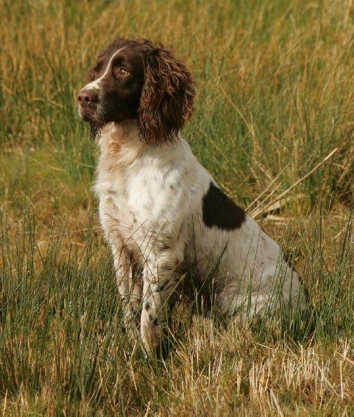 CH. Wellemeersen Castor chien de race toutes races en tous ...