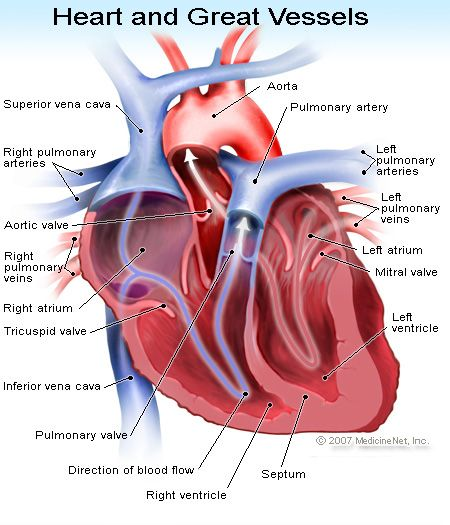Heart transplant learn about guidelines and surgery lvad and humananimal anatomy and physiology diagrams heart and great vessels diagram ccuart Choice Image