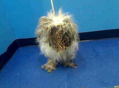 I'm totally horrified! Can someone help this poor baby? I can help with a pull. tammy5696@gmail.com  Manhattan Center     CHRISTIE - ID#A0945396    I am an unaltered male, white Maltese mix.    The shelter staff think I am about 2 years old.    I weigh 12 pounds.    I was found in NY 10029.    I have been at the shelter since Sep 10, 2012