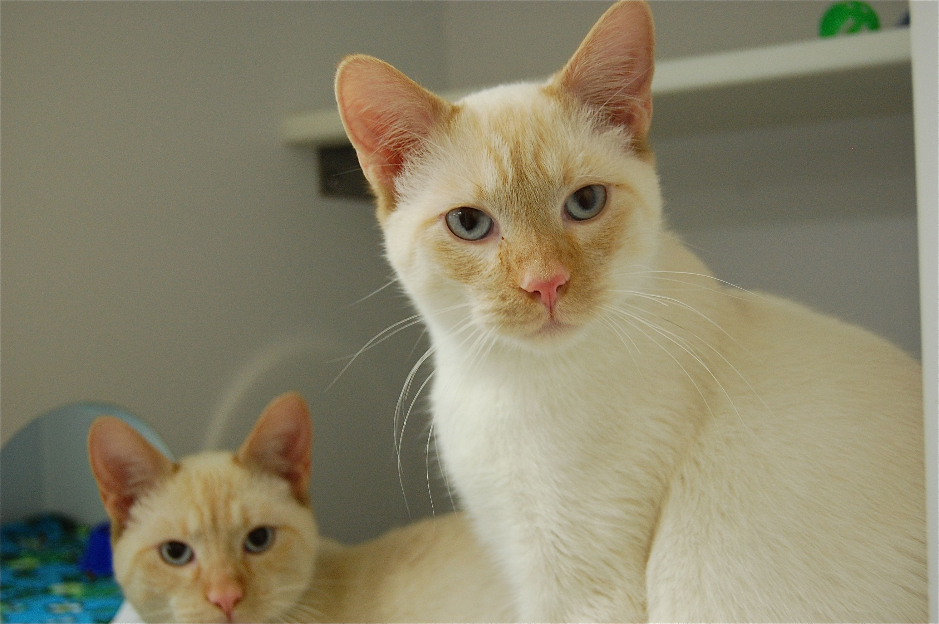Meet Orange Cream Flame Point Siamese Brothers 7 Mo Old They
