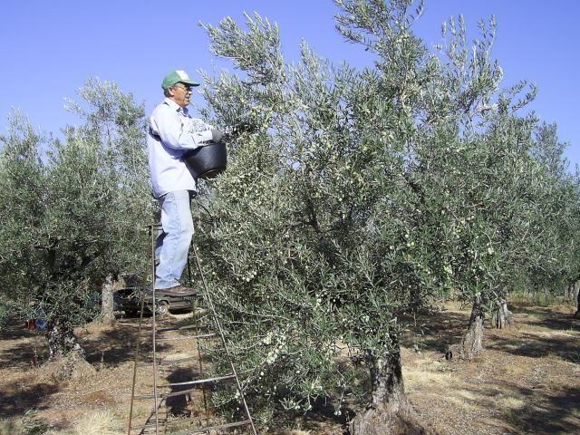 La organización agraria Asaja exige que se restaura el anterior seguro del olivar