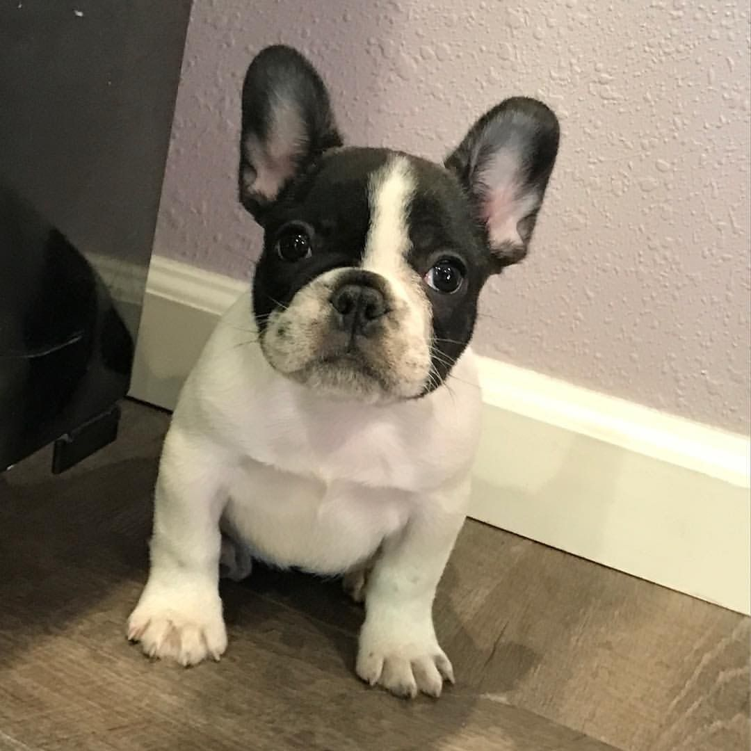 French Bulldog Puppy                                                                                                                                                                                 More