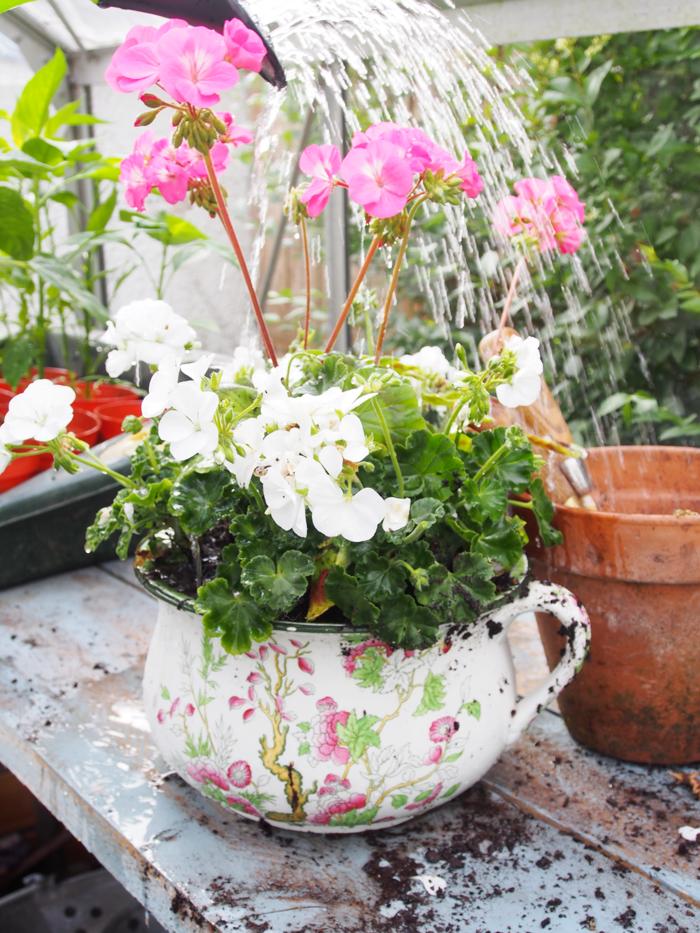 Balcony Plants Pelargonium Of Cool Flower Pot
