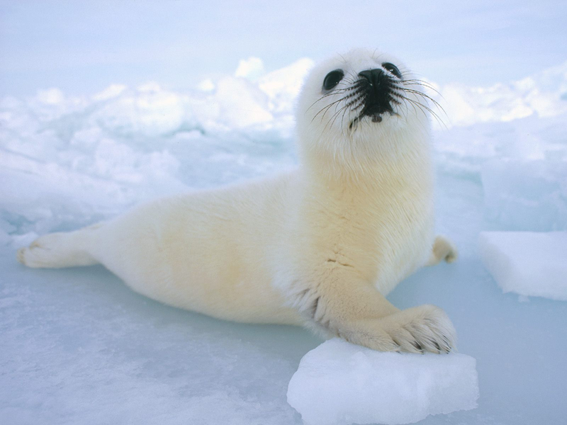 Harp Seal, Iceland Native Icelandic Animals Harp seal