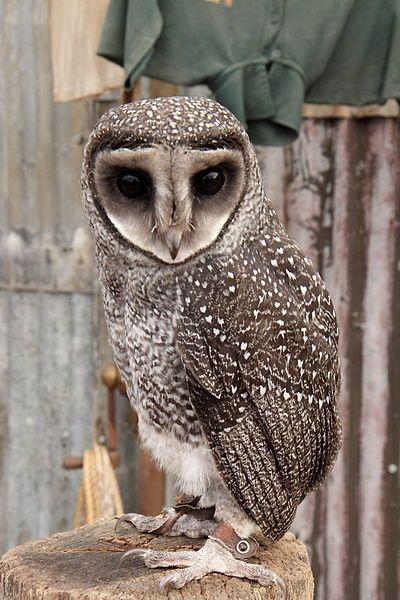 Taliabu Masked Owl Tyto nigrobrunnea - Google Search ... - photo#4
