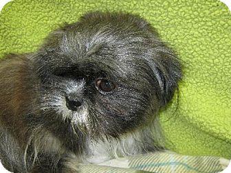 REDDING, CA Shih Tzu. Meet Mu Shu, a dog for adoption
