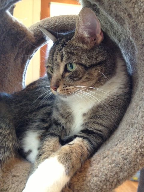 Montgomery County Md Herb Is A Handsome Brown Tabby With Some White On Me Too If You Are Looking For A Super Snuggly Cat I Am The Cats Are You