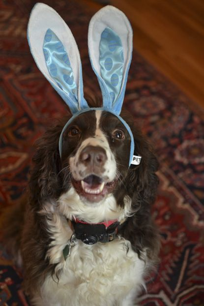 Jack An English Springer Spaniel From Spartanburg South Carolina