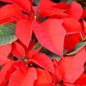 Euphorbia pulcherrima nombre popular pascuero flor de for Arbustos de hoja caduca