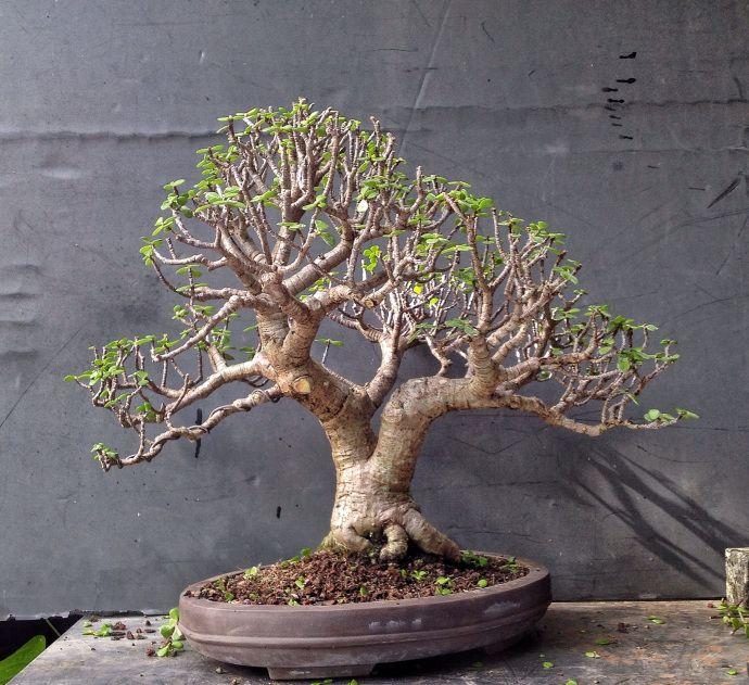 Dwarf Jade Bonsai Techniques  U2013 Adam U0026 39 S Art And Bonsai Blog