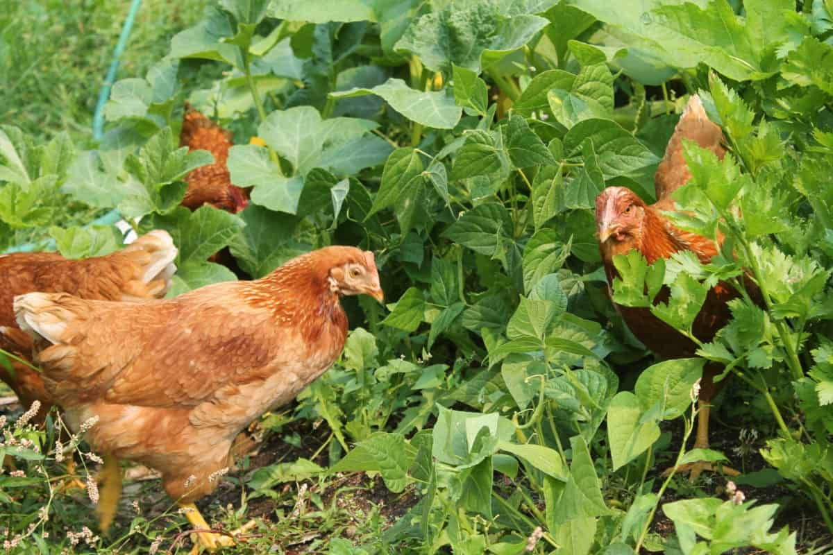 Best Chicken Breeds for Eggs (with Pictures) | Family Food ...