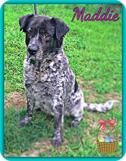 Pictures Of Maddie A Newfoundland German Shorthaired Pointer Mix For