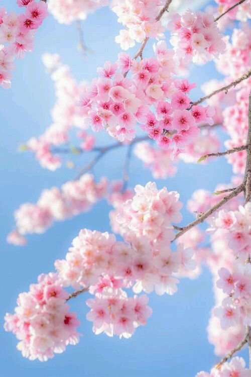 Cherry Blossom Photography The Most Beautiful And Romantic Japanese Cherry Blossom Tree Photos To See Beautiful Flowers Flowers Cherry Blossom Petals