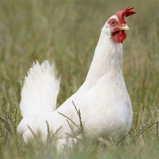 Dominant epistasis: dominant allele of one gene hides the effects of another gene: Ex: white leghorn chickens (no feather color: A_B_ (B is epistatic to A); A produces color in the absence of B; a, B, and b alleles produce no color; F2 phenotypic ratio 13 white: 3 color; 9:3:1 all produce white