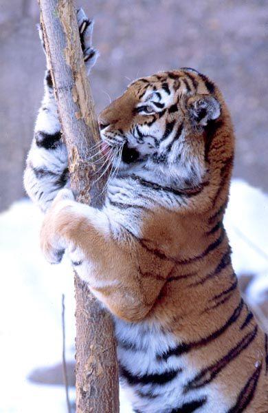 Panthera tigris Siberian tiger scratching tree.jpg (390×600) from Ryanphotographic.com