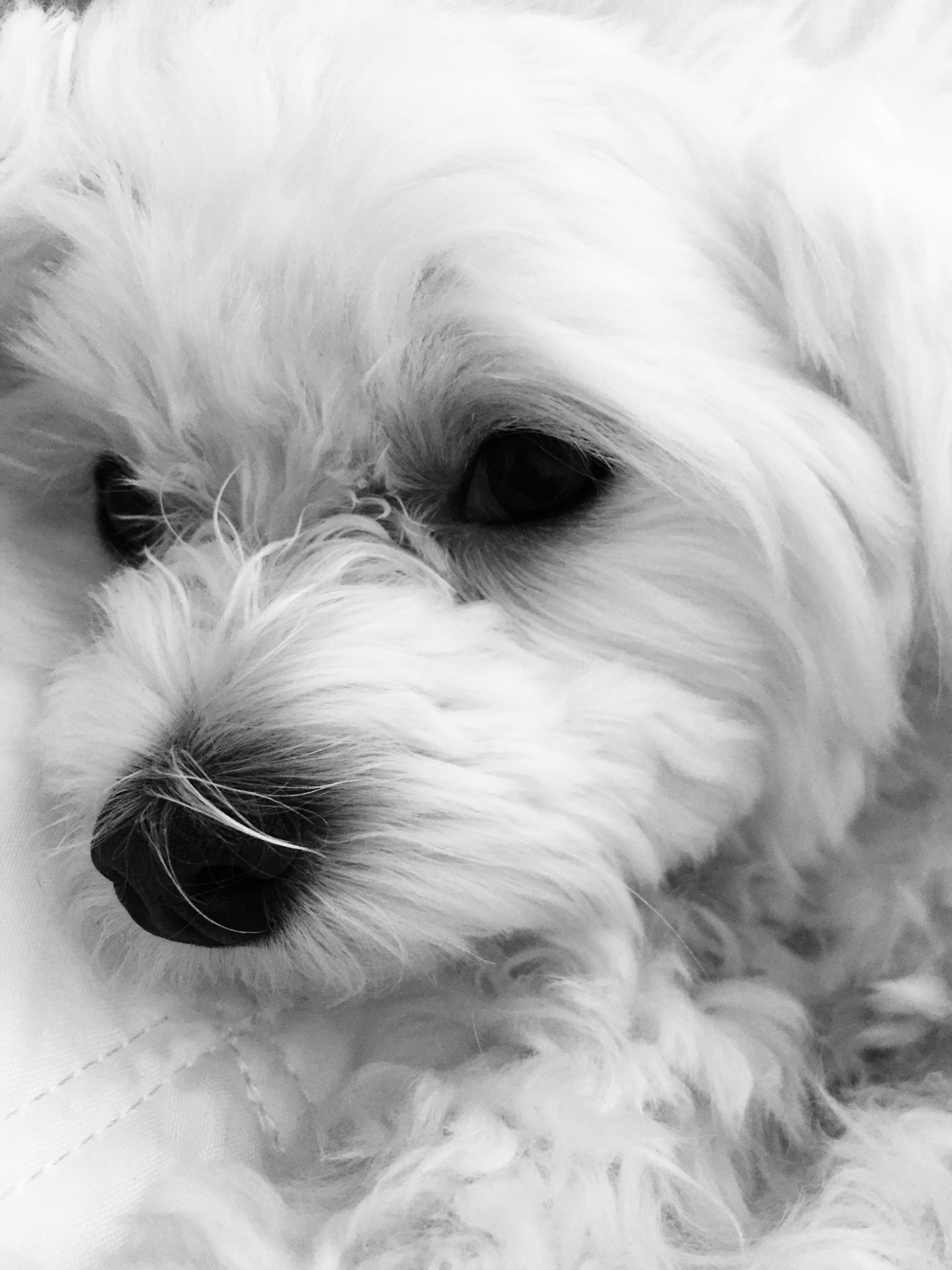 Pin by PJC on Maltese Cutest ever Animals, Maltese, Dogs
