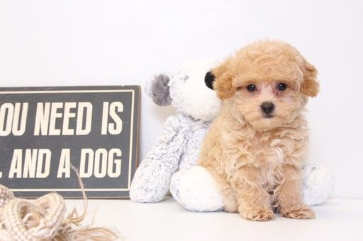 Poochon Puppy For Sale In Naples Fl Adn 28872 On Puppyfinder Com