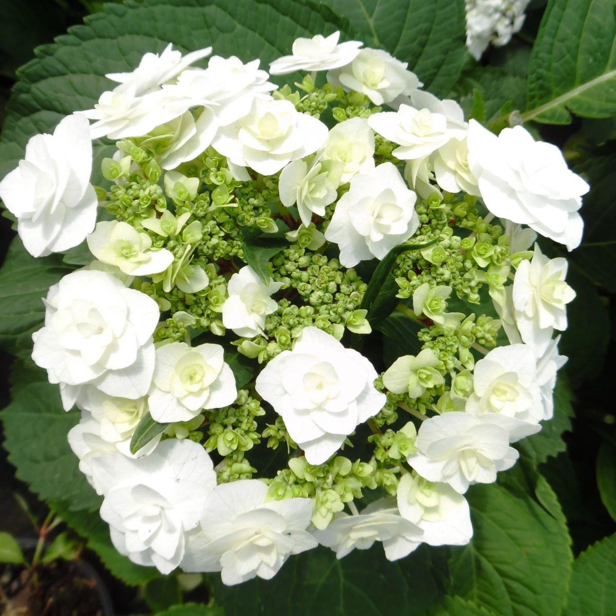 Hydrangea Macrophylla Wedding Gown: Wedding Gown Hydrangea Shrubs