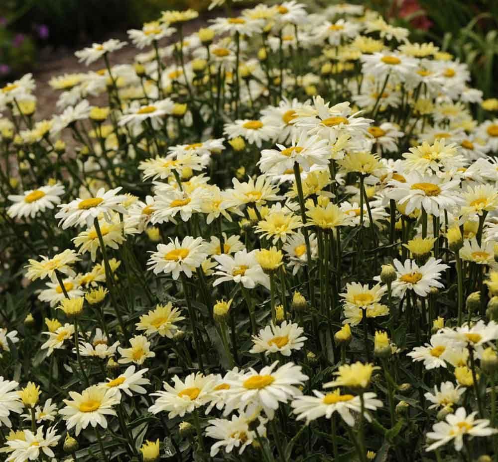 Banana cream shasta daisy large daisy like flowers open a lemony banana cream shasta daisy large daisy like flowers open a lemony yellow color izmirmasajfo Image collections