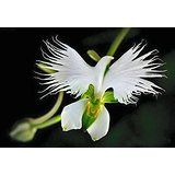 Parrot Orchid Looks like a Peace Dove😍
