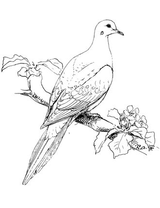 Click To See Printable Version Of Perched Mourning Dove Coloring