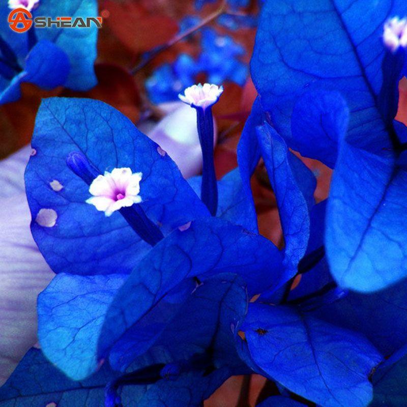Blue Bougainvillea Flower | www.pixshark.com - Images ...